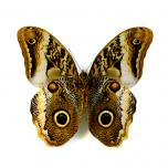 Caligo sp. - owl butterfly dried/papered