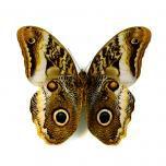 Caligo sp. - owl butterfly