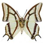 Polyura narcaea