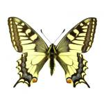Papilio machaon - Old World swallowtail dried/papered
