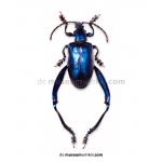 Sagra longicollis - blauw
