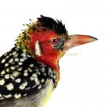 Mounted red-and-yellow barbet