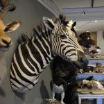 Mounted zebra trophy