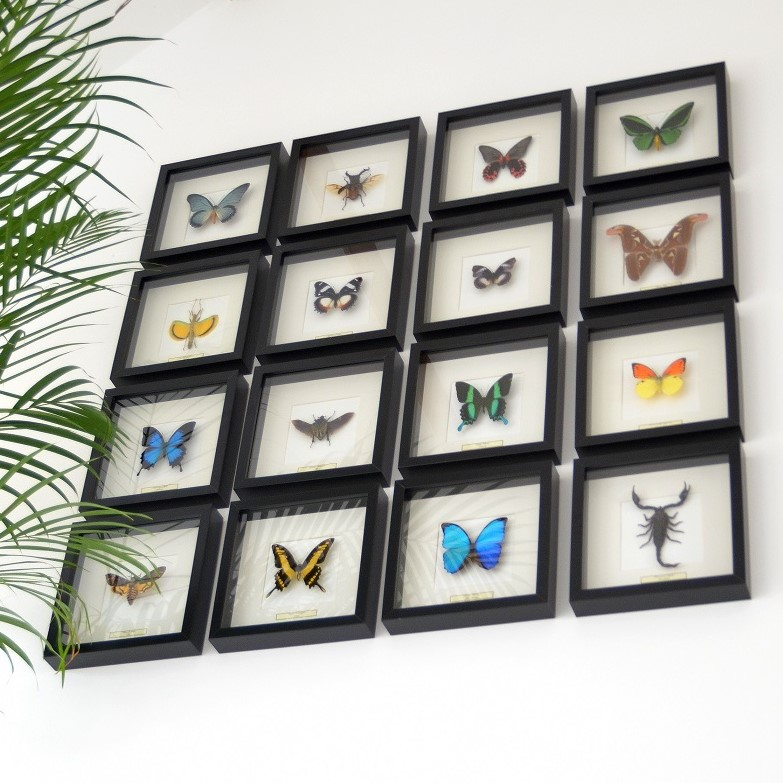 taxidermy butterflies in your interior