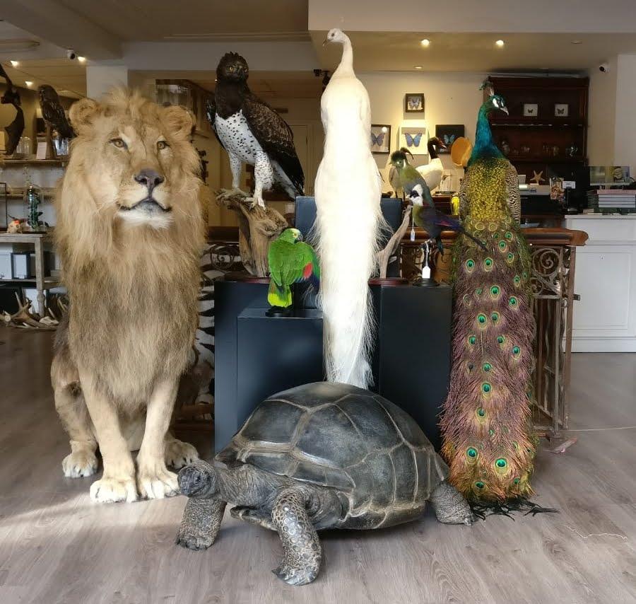 Taxidermy giant tortoise